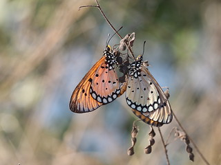 Tawny Coster mating 0478