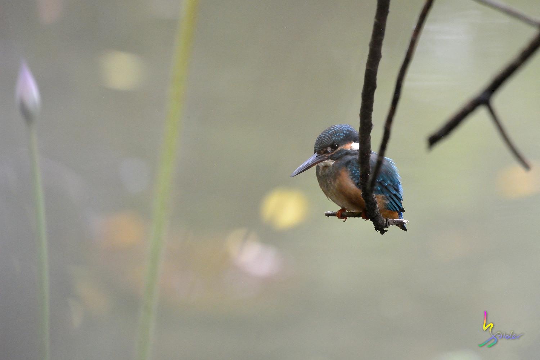 Common_Kingfisher_5368