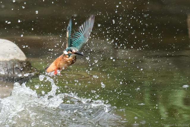 20170820-Kingfisher-DSC_0795