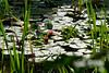 Red Water Lily (Nymphaea alba f. rosea) Röd näckros by abjorken