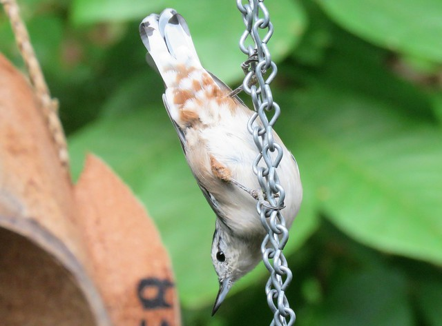 Nuthatch the Acrobat