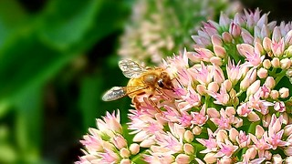 Bee on stonecrop