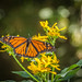 Monarchs are Thriving by Shannonsong