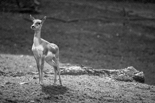 Deer-Rokkor 250mm Mirror Lens.jpg