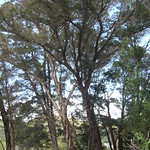 Acacia mearnsii stand