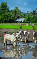 Cow racing on rice field in Mekong Delta, Vietnam
