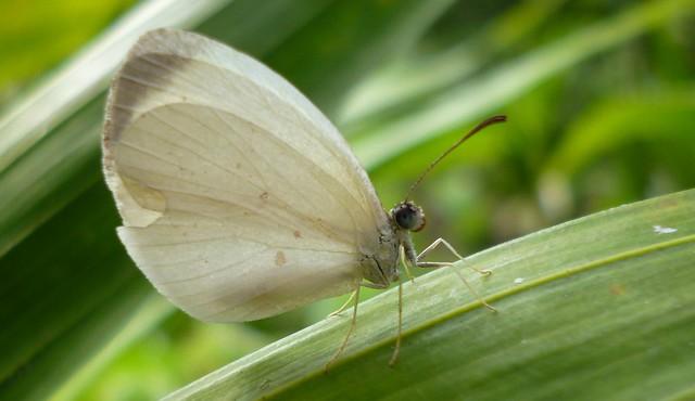 Eurema albula, Panasonic DMC-FX80