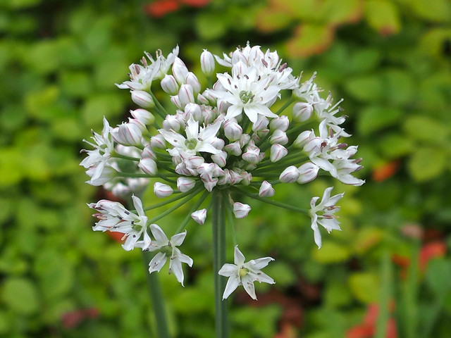Garlic chives, Allium tuberosum