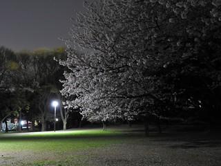 千葉公園お花見広場 夜桜05