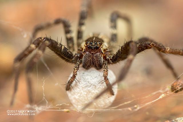 Nursery web spider (Dendrolycosa sp.) - DSC_8845