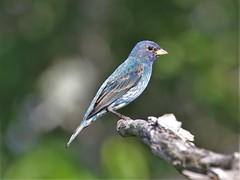 Male Indigo Bunting in molt