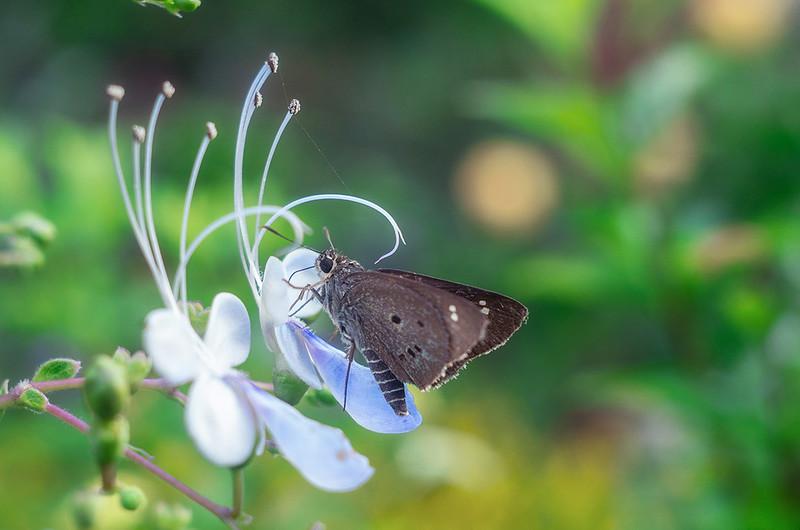 藍蝴蝶之夢
