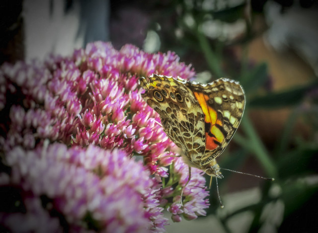 Butterfly on Sedum, Canon EOS 50D, Sigma 50mm f/2.8 EX