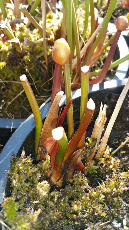 The first Sarracenia pitchers emerging, 2017-2018 season