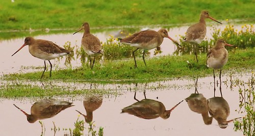 BLACK TAILED GODWIT'S