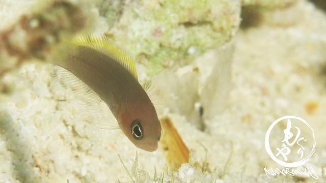 セダカニセスズメ幼魚
