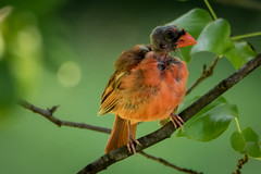 the yellow-shafted, black-headed orange beak (cardinal)