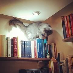 #DonCato en la sección peripatética. Todo un bibliotecario.