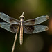 Widow skimmer by jim_mcculloch