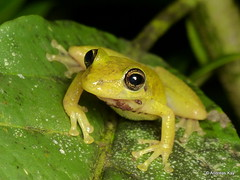 Red Snouted Treefrog, Scinax ruber