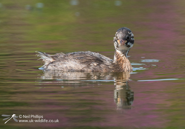 Little grebe-3