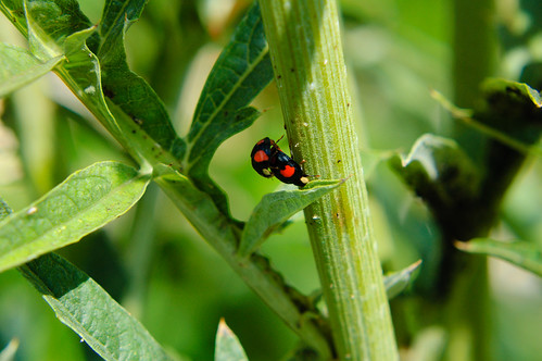Ladybirds mating, artichoke stem