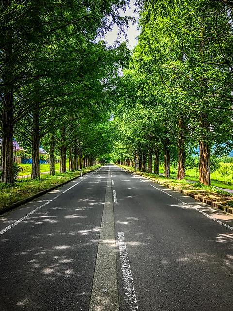 Metasequoia Avenue