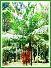 Dypsis leptocheilos (Redneck Palm, Teddy Bear Palm, Red Fuzzy Palm) with lovely dark green and pendulous fronds, 1 Aug 2009