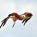 Red Kite...., by mickb6265