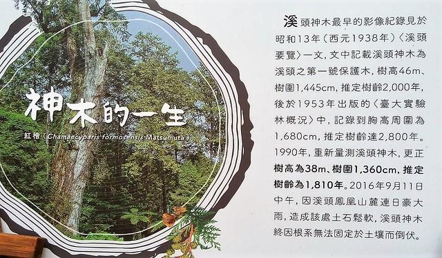 溪頭神木的一生 (17)