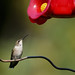 Ruby-throated Hummingbird-43580.jpg