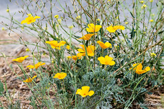 California Poppies (State Flower)
