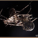 Pirate Spider (Australomimetus sp.) eating another Pirate Spider by caitlinhenderson