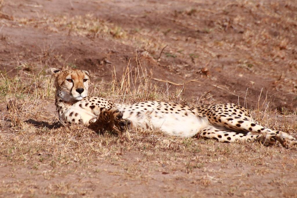 Relaxing cheetah female