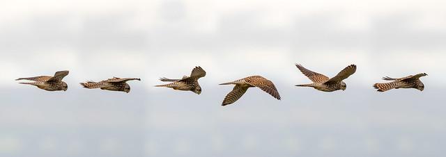Kestrel (Falco tinnunculus) hovering in flight