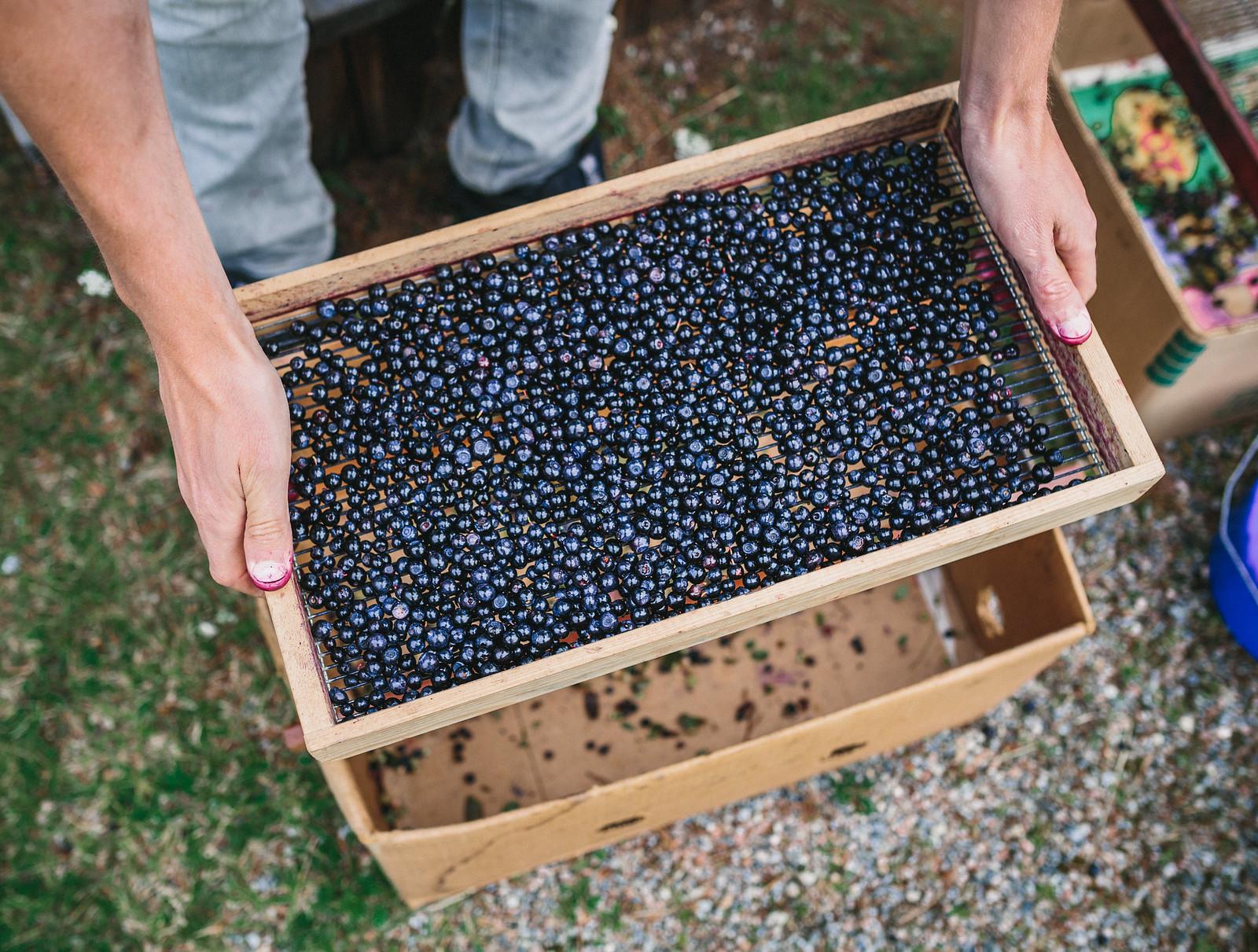 Rensa blåbär - karinevelina.se