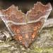Herald Moth - Scoliopteryx libatrix