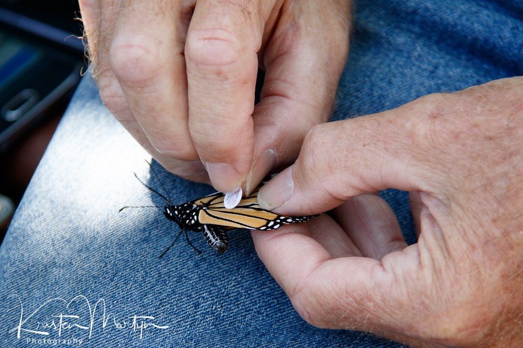 Monarch Butterfly (Danaus plexippus) Tagging