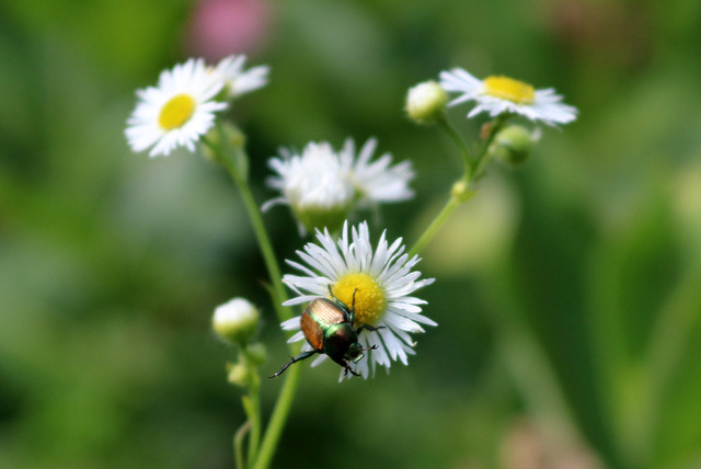 one beetle climbing downward on fleabane