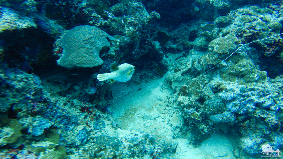 Spotted Sharpnose Pufferfish