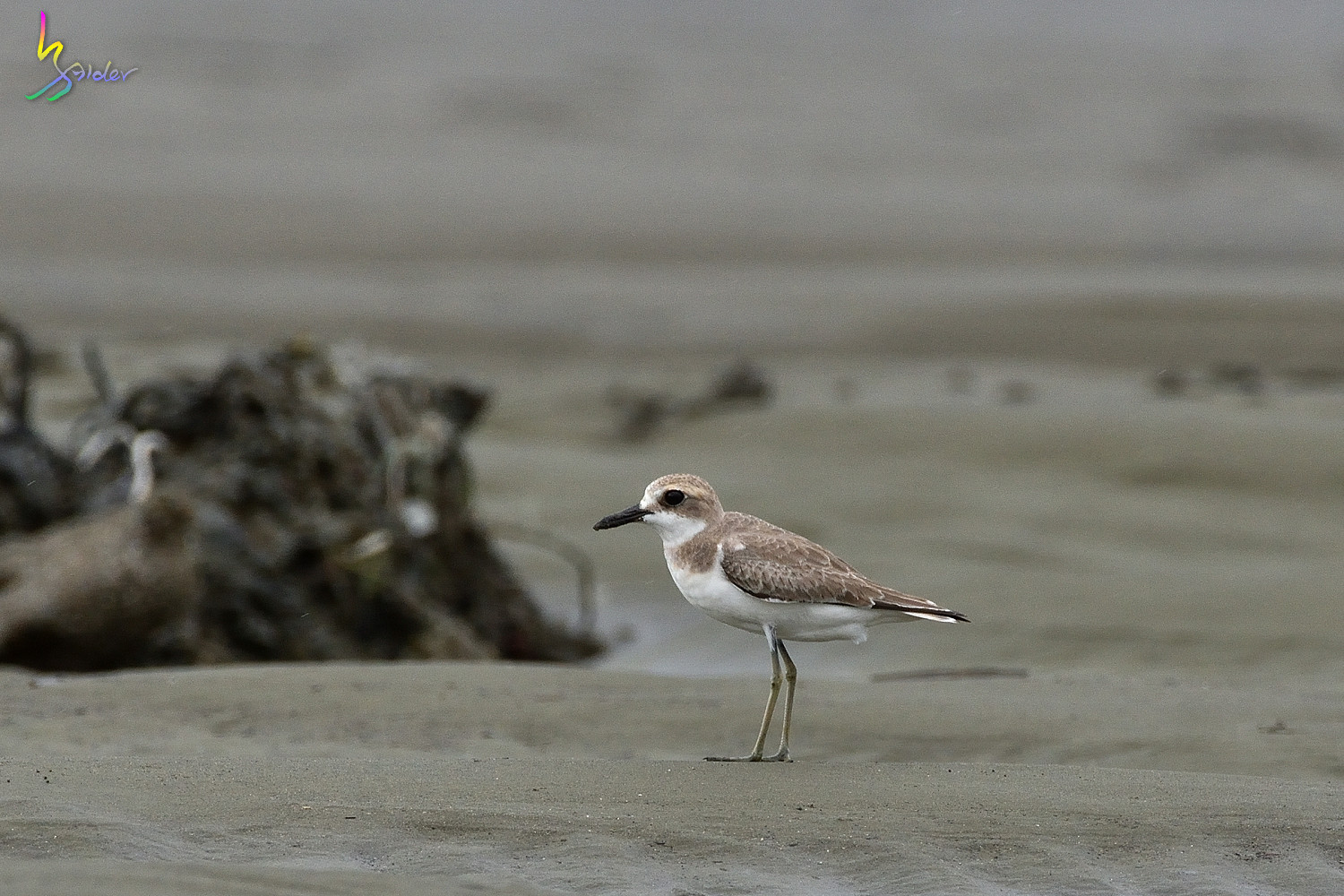 Greater_Sand_Plover_3817