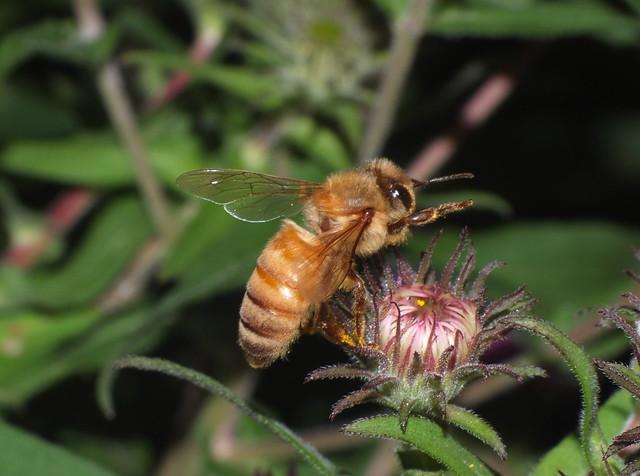 Honey Bee In Flight DSCF4240