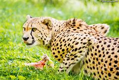CheetahBreakfast