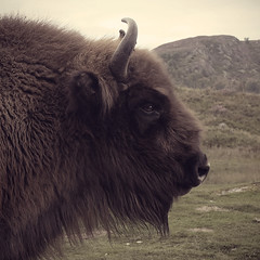 Wild West Buffalo