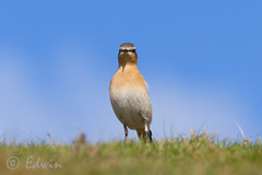 Tapuit, Northern Wheatear, Oenanthe oenanthe