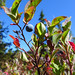 The oval-leaved blueberry has blue-black fruit that is glaucous, covered with white or grey powder that can be rubbed off.  Photo by Judith Holm