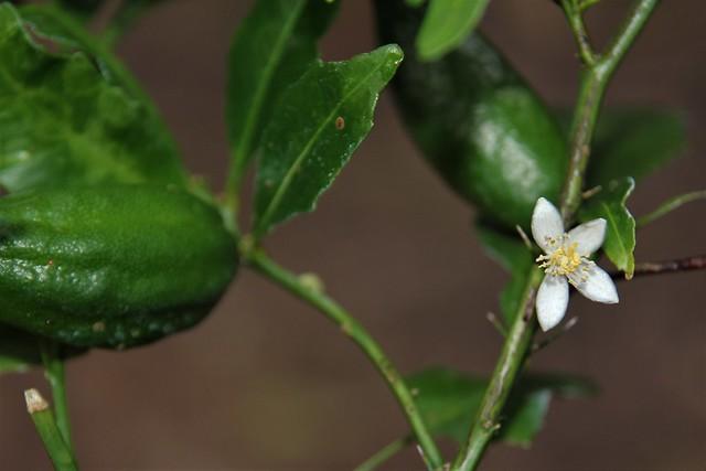 Citrus inodora - Russell River Lime