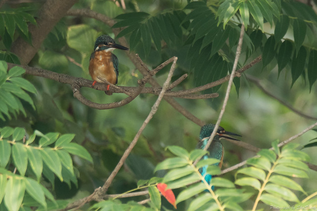 20170826-Kingfisher-DSC_1044