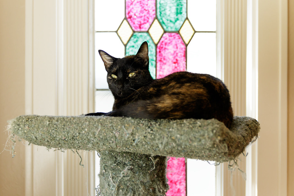 Trixie shows her golden eyes while resting atop the cat tree