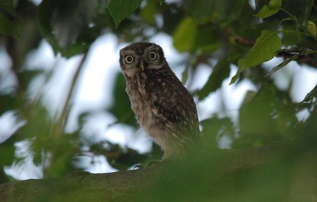 Little Owlet, Nikon D80, Sigma 150-500mm F5-6.3 DG OS APO HSM